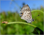 Title: Leptotes cassius theonusSony Cybershot DSC HX200V