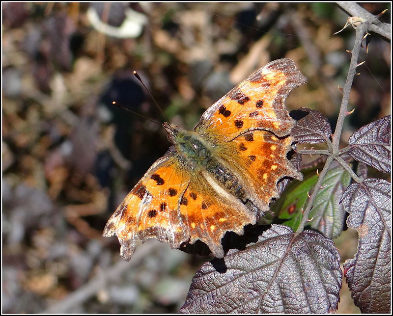 Bad winter for the Comma