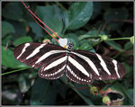 Title: Heliconius charithonia