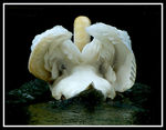Title: The side B of mute swan