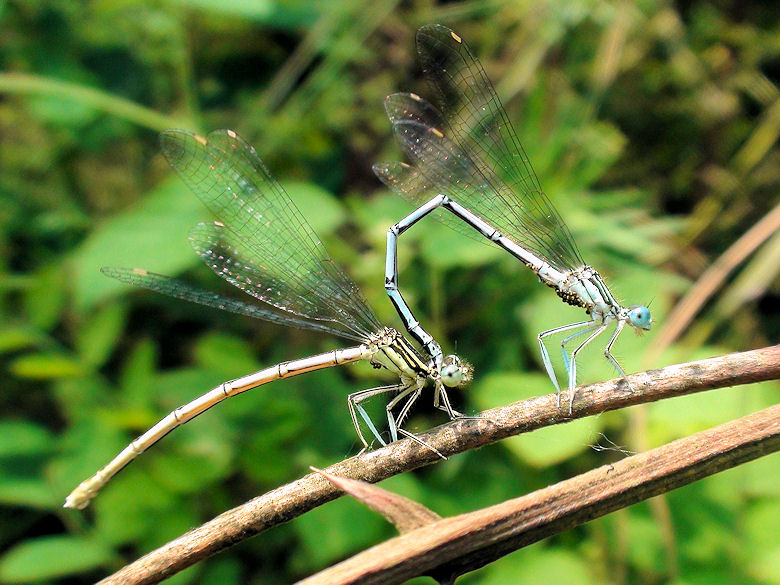 Time of love - Platycnemis pennipes