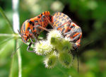 Title: Time of love - Graphosoma lineatum