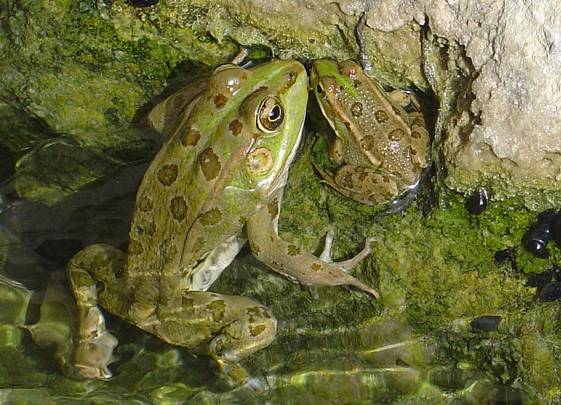 frog and son