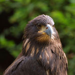 Title: young bald eagle