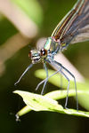 Title: Damselfly's Happy Meal # 2