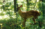 Title: Fawn in woods