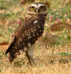 Title: The Burrowing Owl