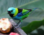 Title: Green- Headed -Tanager