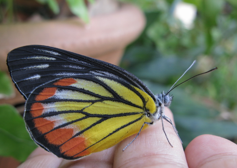 The Painted Jezebel in my hand.