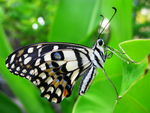 Title: Common Lime Butterfly