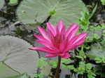 Title: Nymphaea pubescens Willd.