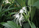 Title: Spider Lily