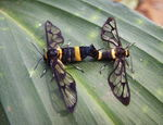 Title: wasp moth