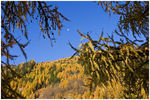 Title: Larches in the Sky