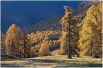 Title: Larches in the sunKonicaMinolta Dynax7D