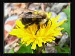 Title: Bee on dandelion