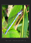 Title: Little blue dragonfly