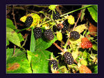 Title: Wild blackberries