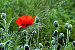 Title: Lonely poppy in the morning...
