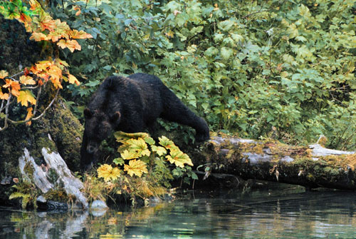 Bear Emerges from Forest