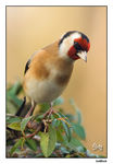 Title: European Goldfinch
