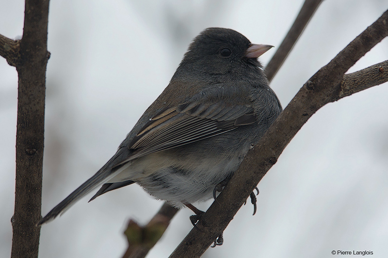 Dark-eyed Junco - 2018 -1