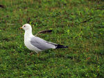 Title: Seagull in Long-Sault