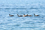 Title: Canadian geese - 3
