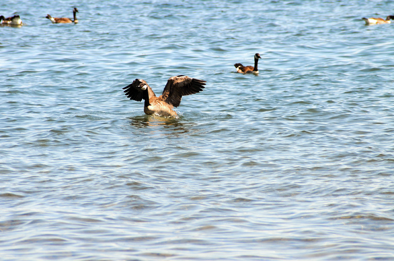 Canadian geese - 2