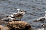 Title: Watching seagull - 2