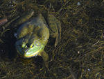 Title: Frog -  2011 - 2