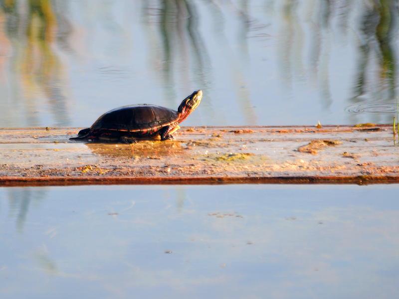 Turtle enjoying the sun 2011-5