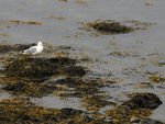 Title: Ring-Billed Seagull NFLD - 1