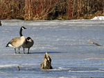 Title: Canadian Geese - 2011 - 1