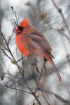 Title: Northern Cardinal - 2018 - 4