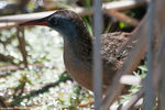 Title: Virginia Rail - 2012 - 2