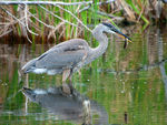 Title: Great Blue Heron - 2013 - 6