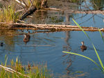 Title: Pied-billed Grebe - 2013 - 2