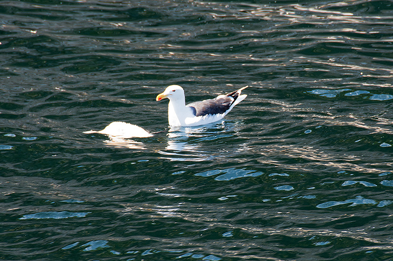 Herring Gull - 2016 - 4