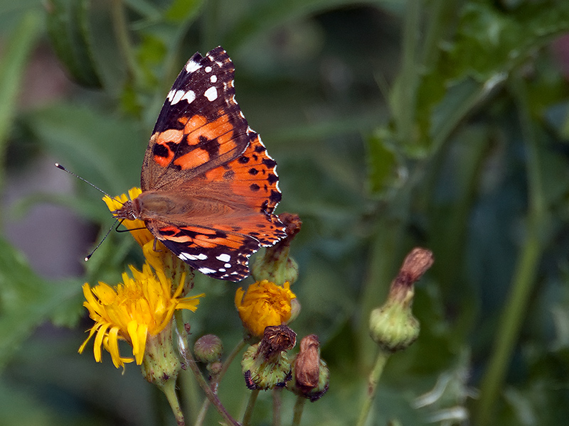 Painted Lady - 2012 - 1
