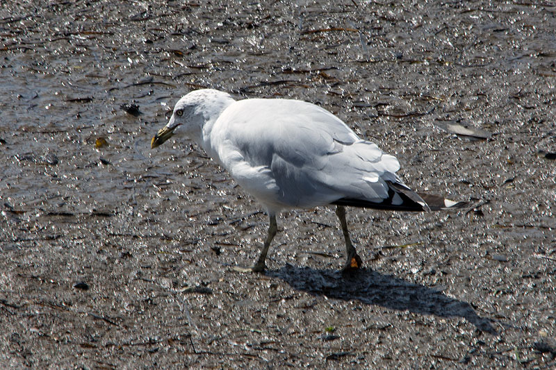 Ring Billed Gull - 2016 - 7