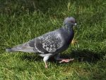 Title: Feral Pigeon