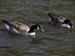 Title: Canadian Geese in London