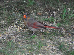 Title: Northern Cardinal - 2008  - 9