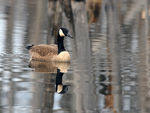 Title: Canadian Goose - 2010 - 11