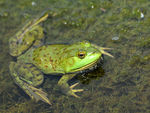 Title: Frog - 2011 - 3