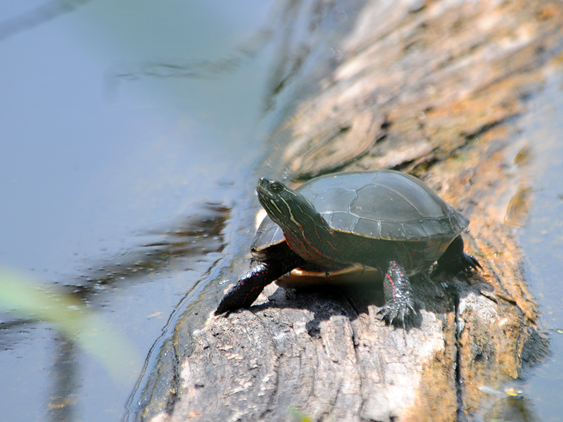 Turtle enjoying the sun 2011-4