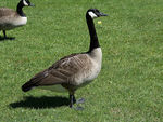 Title: Canadian Geese - 2016 - 3