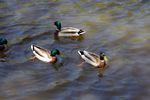 Title: A group of ducksNikon D70