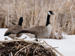 Title: Canadian Geese - 2012 - 1
